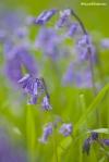 Bluebells in Coombe, Moretonhampstead