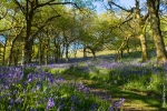 Bluebell Fields