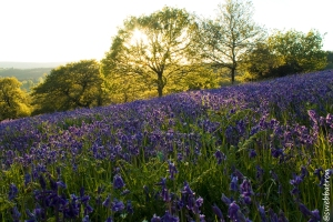 Bluebell Fields