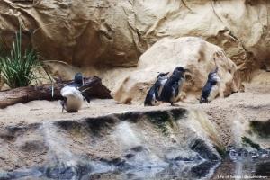 Penguins at Sydney Aquarium