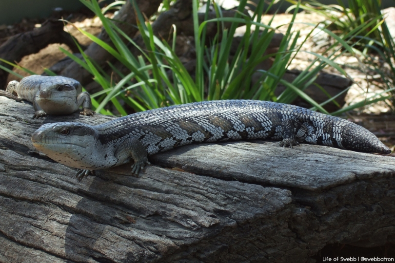Lizards in Hunter Valley Zoo.