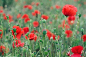 Poppies at Crantock